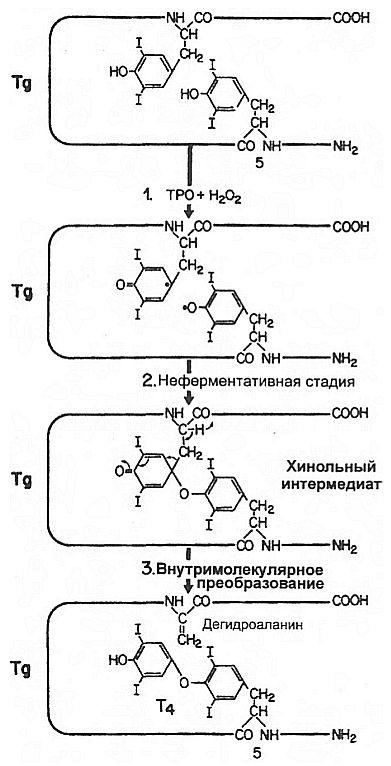 Образование тироксина